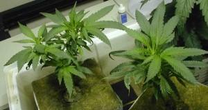 Lecco, vigile coltivava cannabis nel bosco: fermato