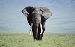 Kenya, italiano muore calpestato da un elefante