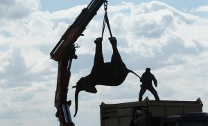 Guarda la versione ingrandita di YOUTUBE Malawi, troppi elefanti: li traslocano con la gru FOTO