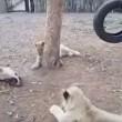 Cucciolo di cane che riesce ad allontanare tre leoni4