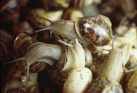 Lumache, riproduzione record: minaccia per orto e giardino