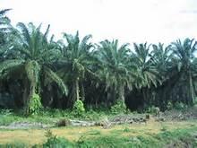 Una piantagione di olio di palma