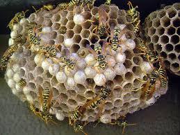 Belluno, calpesta nido di vespe: punta, viene salvata in ospedale