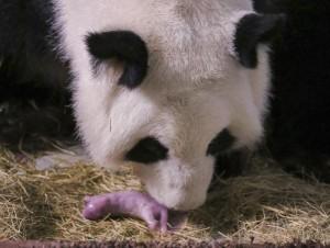 Panda gigante non più a rischio estinzione: 1864 adulti in tutto il mondo