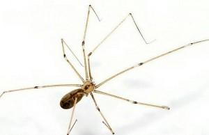 """Londra, la guerra degli insetti nelle case invase dai ragni """"buoni"""