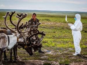 Siberia, 250mila renne da uccidere entro Natale: strage anti-antrace