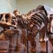 T-Rex, nuovi resti di dinosauro trovati a Hell Creek 2