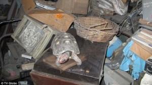 Brasile: tartaruga persa nel 1982 ritrovata viva in soffitta
