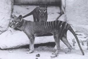 Guarda la versione ingrandita di VIDEO YOUTUBE Tigre della Tasmania estinta o no? Avvistamento sospetto in Australia