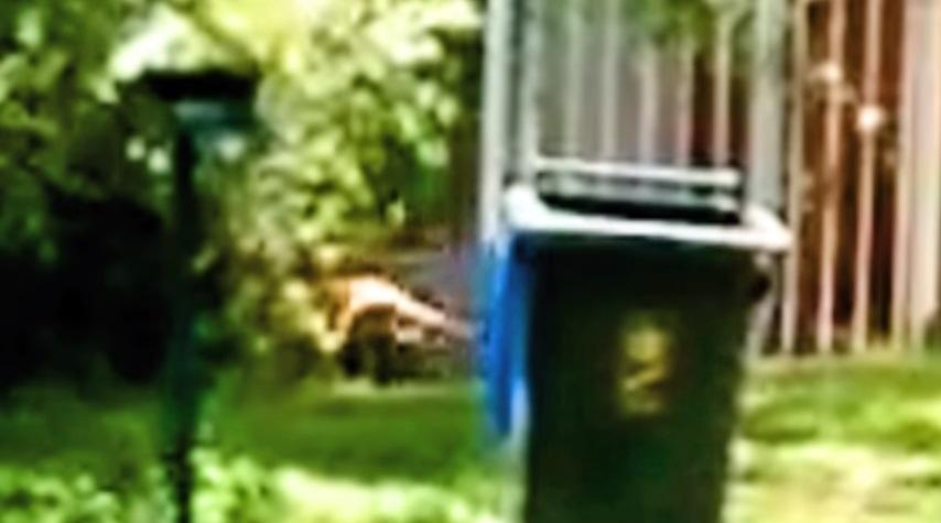 VIDEO YOUTUBE Tigre della Tasmania estinta o no? Avvistamento sospetto in Australia
