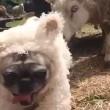 Cane nel gregge travestito da pecora5