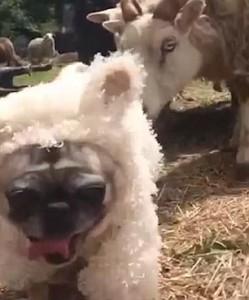 Guarda la versione ingrandita di YOUTUBE Cane nel gregge travestito da pecora: gli ovini reagiscono così