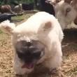 Cane nel gregge travestito da pecora4