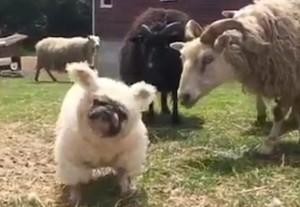 Cane nel gregge travestito da pecora