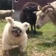 Cane nel gregge travestito da pecora2