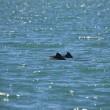 Cucciolo delfino con rete da pesca intorno alla testa4