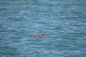 Cucciolo delfino con rete da pesca intorno alla testa