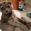 Gatto seduto nel lavandino si lava