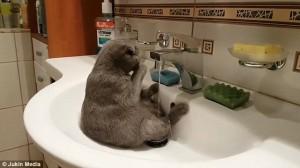 Gatto seduto nel lavandino si lava 5