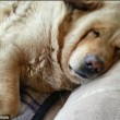 Il mio cane russa, aiuto non riesco a dormire