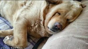Il mio cane russa, aiuto non riesco a dormire3