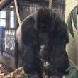 Londra, gorilla spacca vetro zoo e scappa catturato dopo un'ora e mezza5