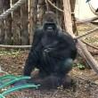 Londra, gorilla spacca vetro zoo e scappa catturato dopo un'ora e mezza6