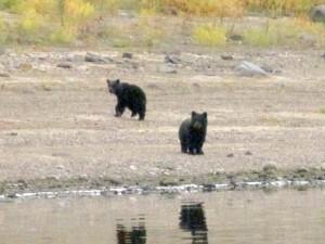 Mamma orso, il momento in cui abbandona cuccioli ormai grandi5
