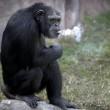 Azalea, la scimpanzé che fuma (ma non aspira) FOTO