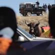 Spagna, tori provocati e infilzati dalle auto4
