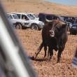 Spagna, tori provocati e infilzati dalle auto2
