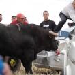 Spagna, tori provocati e infilzati dalle auto8