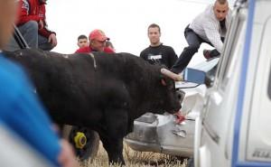 Spagna, tori provocati e infilzati dalle auto10