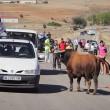Spagna, tori provocati e infilzati dalle auto7