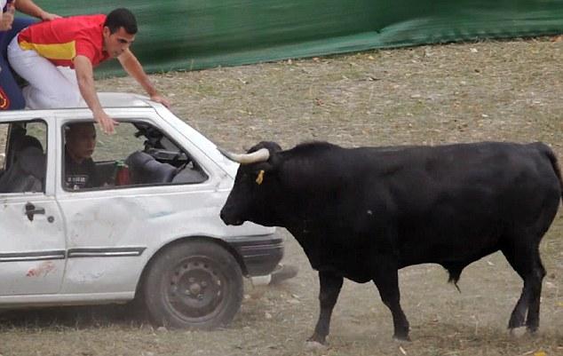 Spagna, tori provocati e infilzati dalle auto5