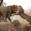 Leone attacca leopardo mentre dorme3
