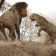 Leone attacca leopardo mentre dorme4