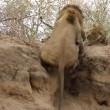 Leone attacca leopardo mentre dorme5