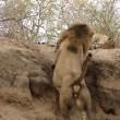 Leone attacca leopardo mentre dorme6