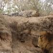 Leone attacca leopardo mentre dorme7