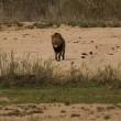 Leone attacca leopardo mentre dorme8