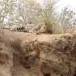 Leone attacca leopardo mentre dorme9