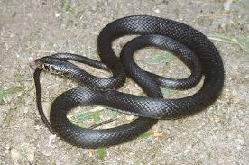 Montesilvano: serpente di un metro e mezzo in banca