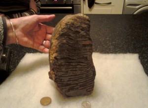 Mammut, un dente fossile ritrovato a Naze FOTO