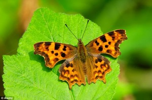 Le farfalle stanno scomparendo? Allarme ambientalisti