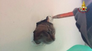 Guarda la versione ingrandita di Gatto intrappolato nell'intercapedine: vigili del fuoco lo salvano FOTO