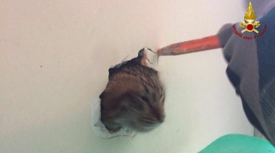 Gatto intrappolato nell'intercapedine: vigili del fuoco lo salvano FOTO