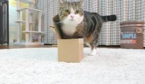 VIDEO YOUTUBE Grosso Gatto vs piccola scatola. Come riesce a starci dentro