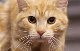 Chi ha un gatto è più a rischio malattie mentali<br /> Schizofrenia, bipolarismo...il motivo è nelle feci