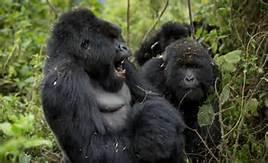 Gorilla nel Parco Kahuzi Biega